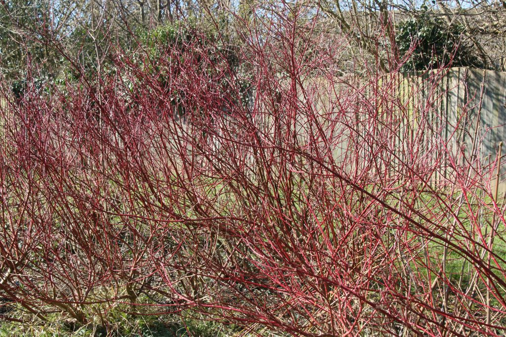 Red dogwood stems