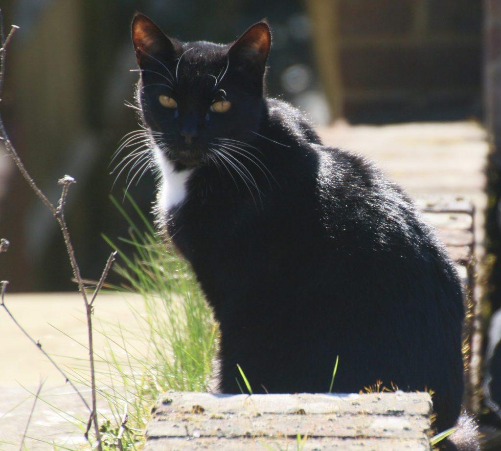 Black cat in the sun