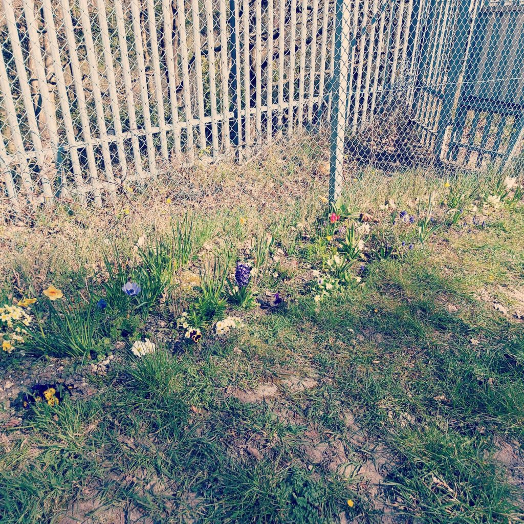 Flowers planted in rough ground by a fence